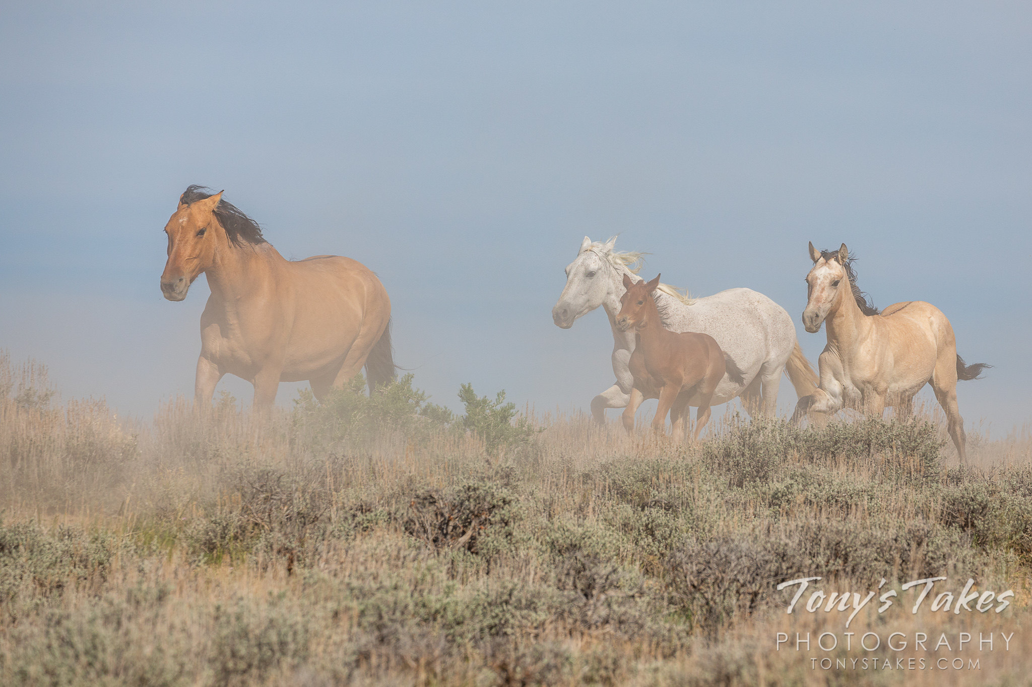 Wild horses race for the watering hole