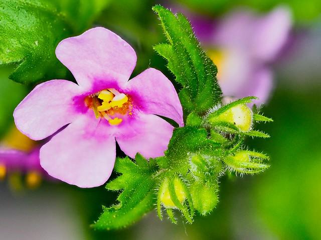 Blume heißt Bacopa auf Latein. ⭐️⭐️⭐️