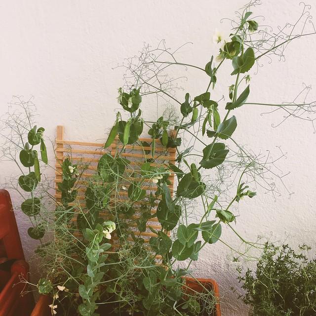 Balkon ist jetzt Erbsenplantage