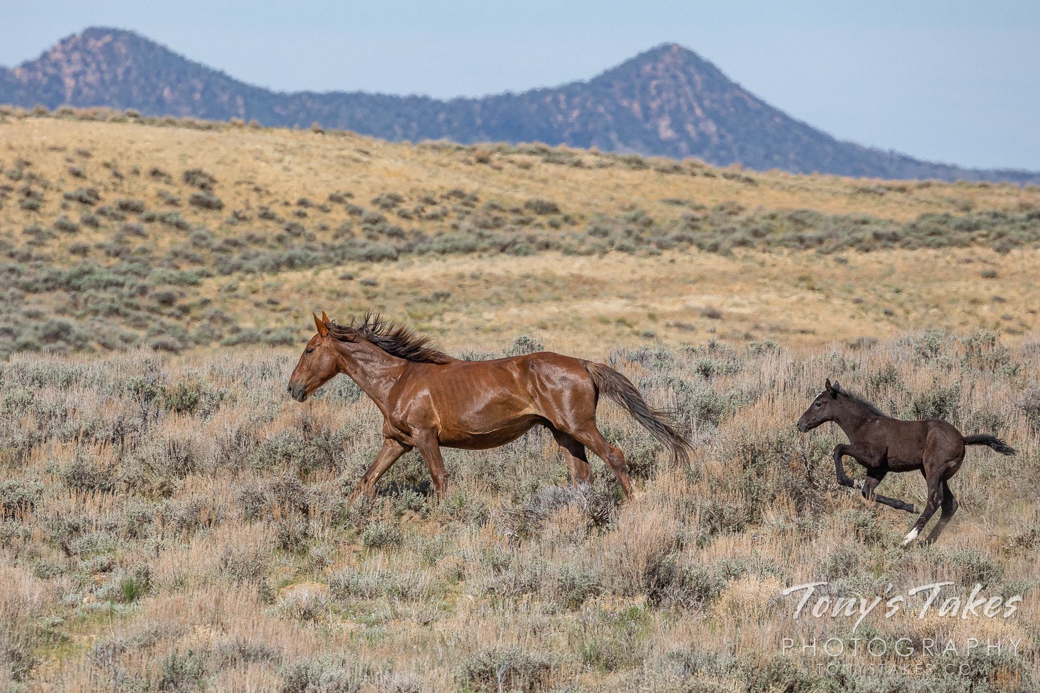 Wild horse mare leads her foal to the watering hole