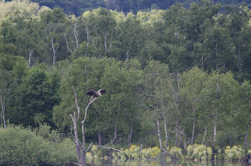 Seeadler am Plauer See