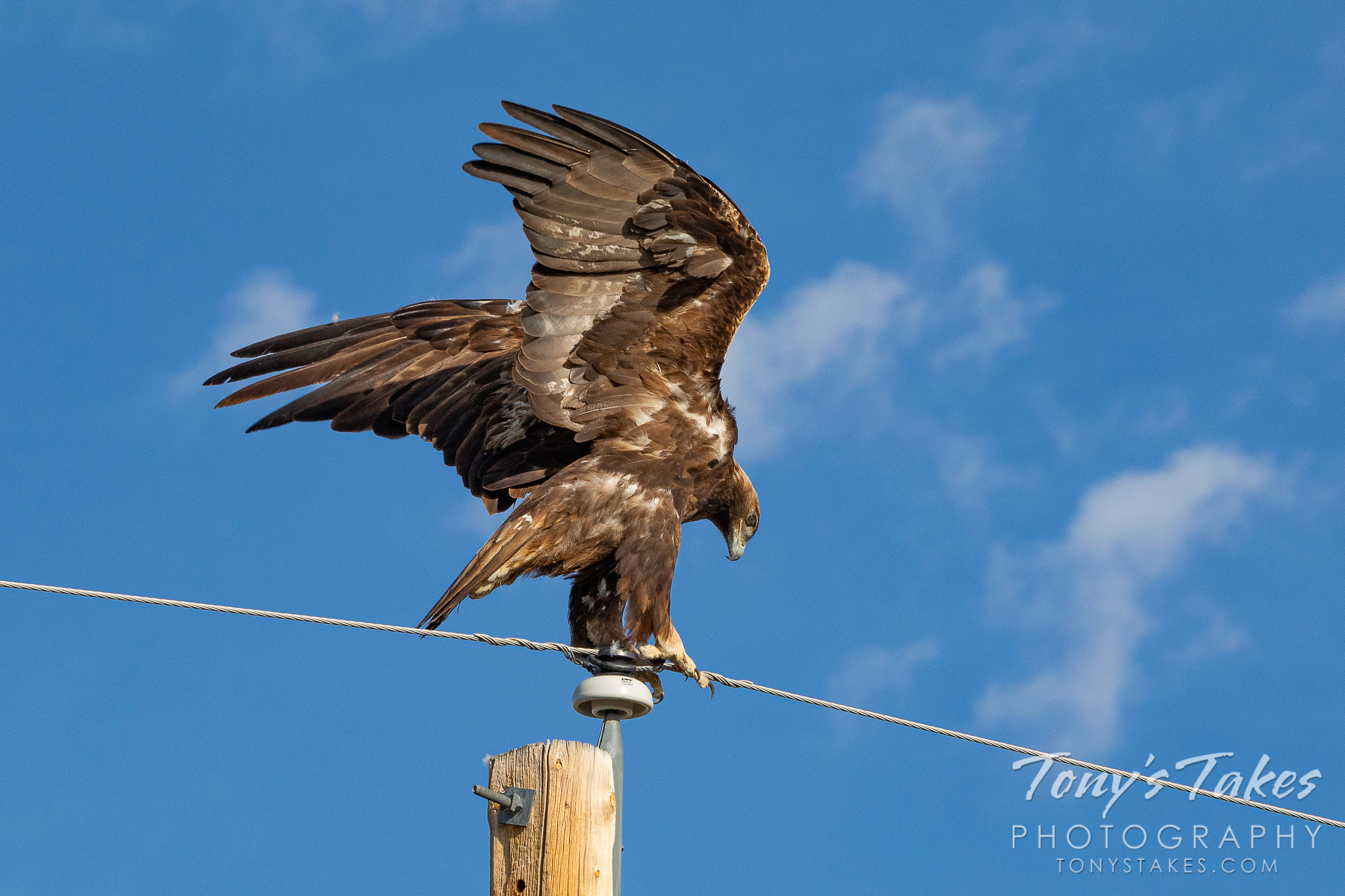 A golden eagle hangs on tight while rearranging on a pole. (© Tony's Takes)