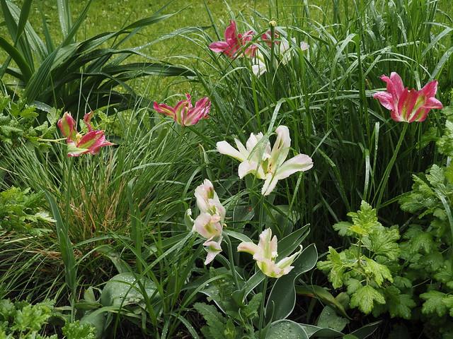 Tulipa Viridiflora Group