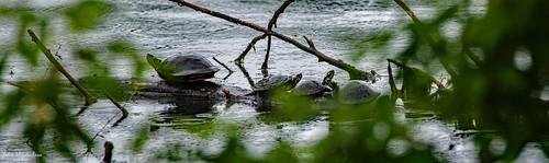 2020.05.27.0441.D850 Turtles
