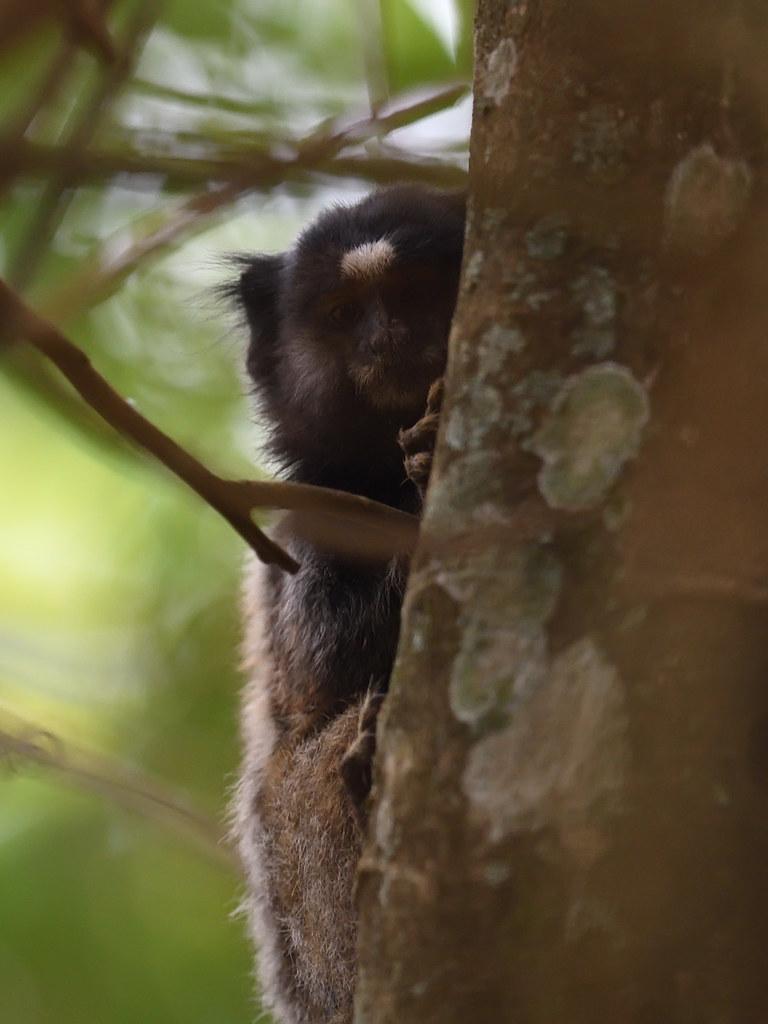 Black Tufted-ear Marmoset