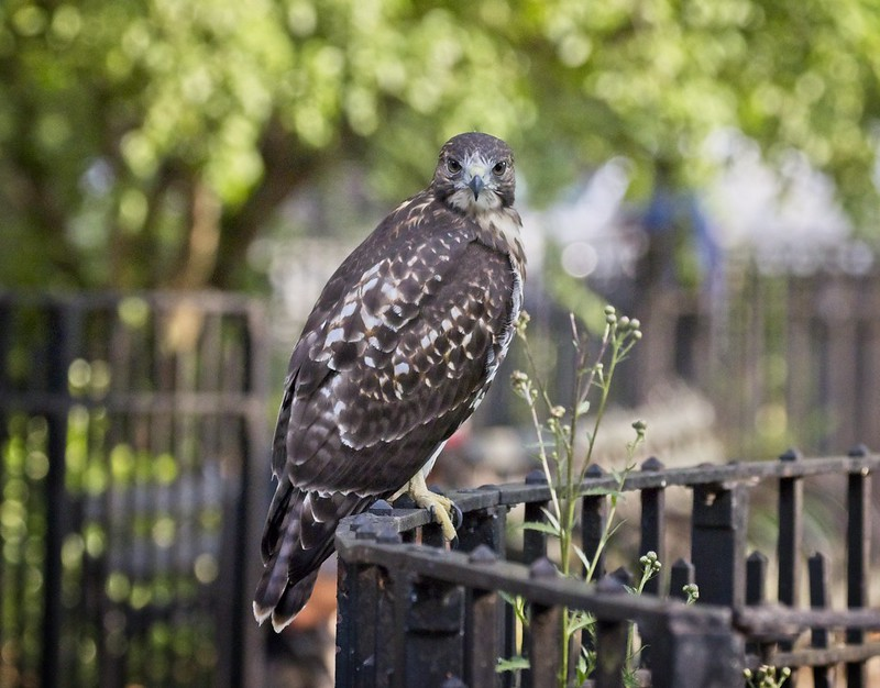 Tompkins Square red-tail fledgling