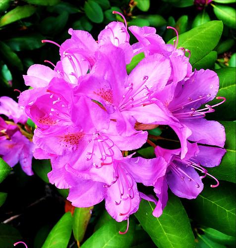 Rhododendron ~ Roseum Elegans