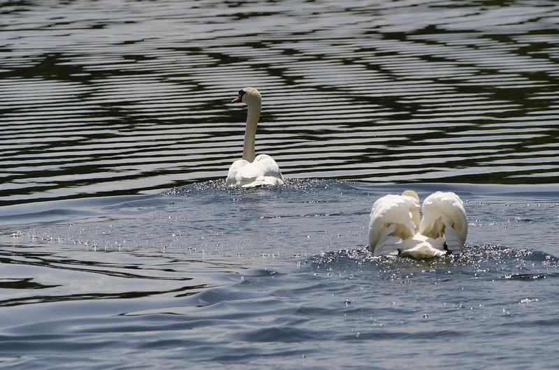 Höckerschwäne auf dem Hofsee