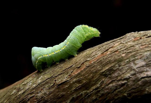 American Copper Underwing caterpillar