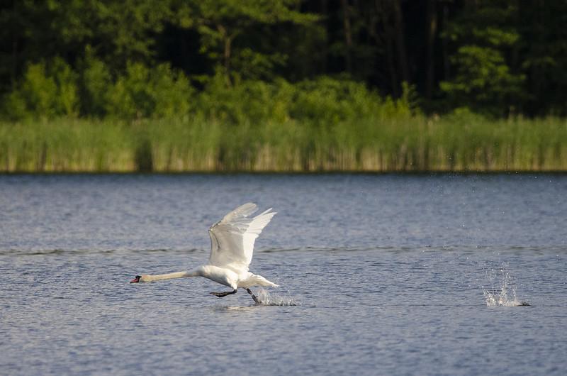 Höckerschwan auf dem Hofsee