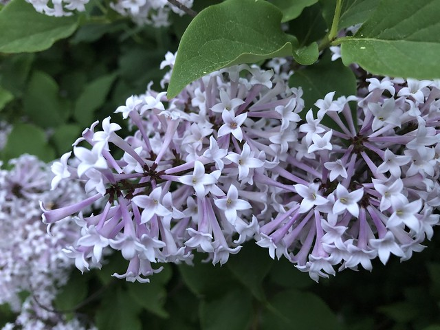 Korean Lilacs- full bloom