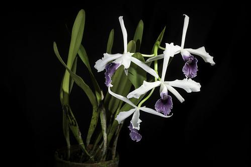 Cattleya purpurata fma. werkhauserii 'Superior Labio' (Lindl. & Paxton) Rollisson ex Lindl., Gard. Chron. 1855: 319 (1855)