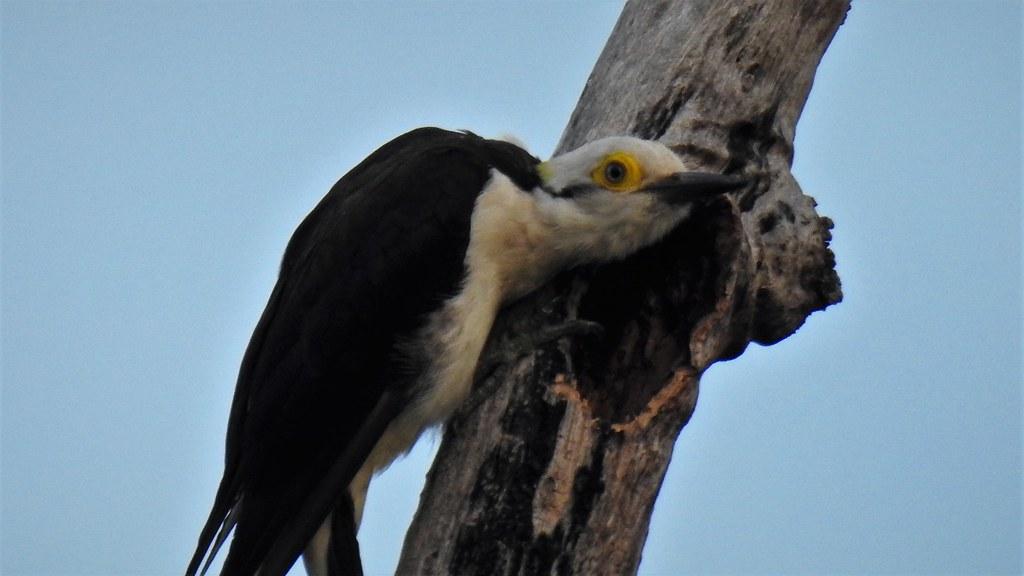 Pica-pau-branco - White Woodpecker