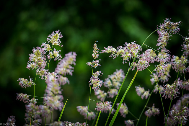 Blütezeit der Gräser