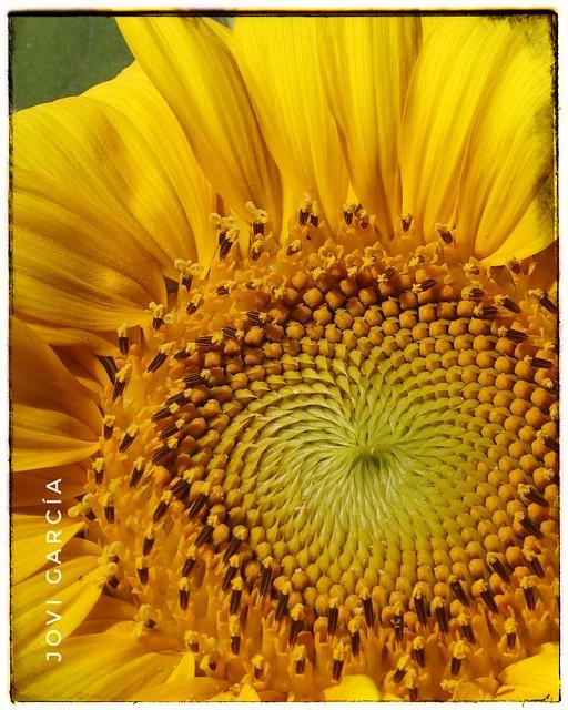 Girasol -Sunflower