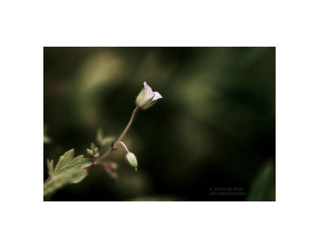 Geranium molle. (Geranio de los caminos)