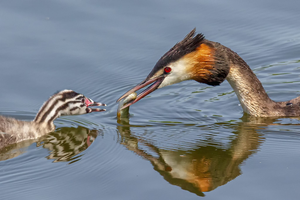 Great Crested Grebe (Podiceps cristatus) with nestling