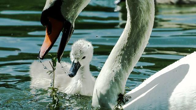 Mute Swan  (Knobbel Zwaan)