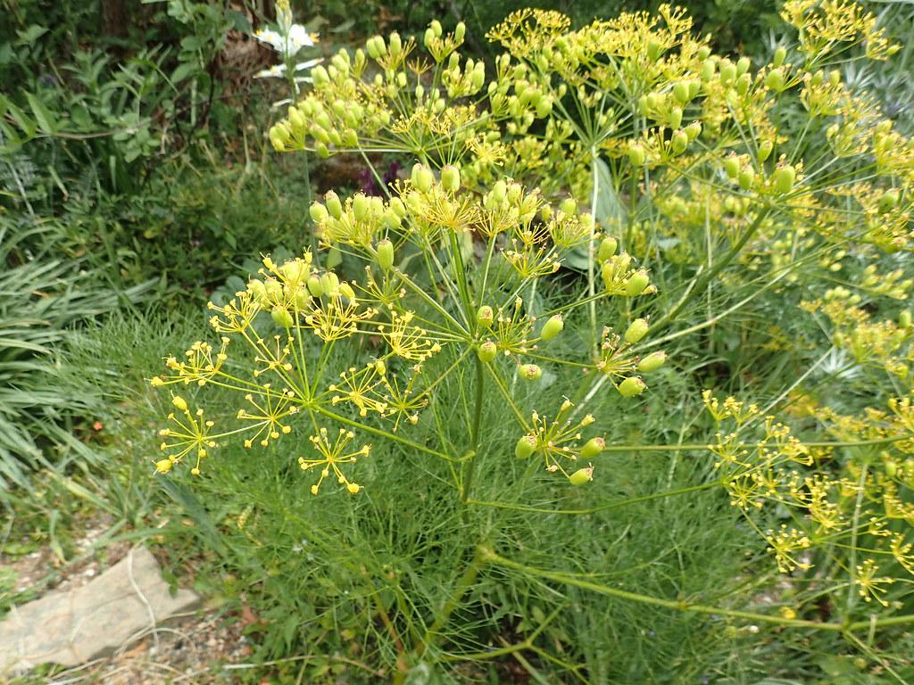 Cachrys alpina