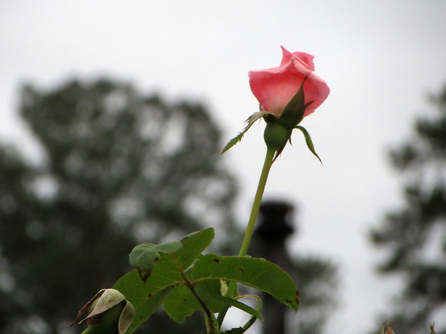Pink Rose Reaching For The Sky.