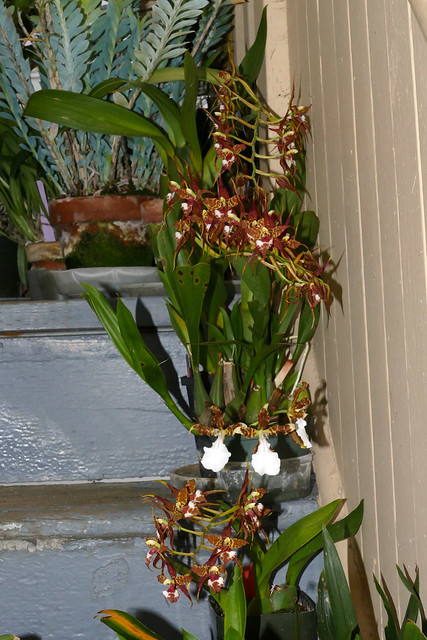 Rhynchostele cordata ('Pacifica' x 'Leopard' am) & Miltonia cuneata species orchid