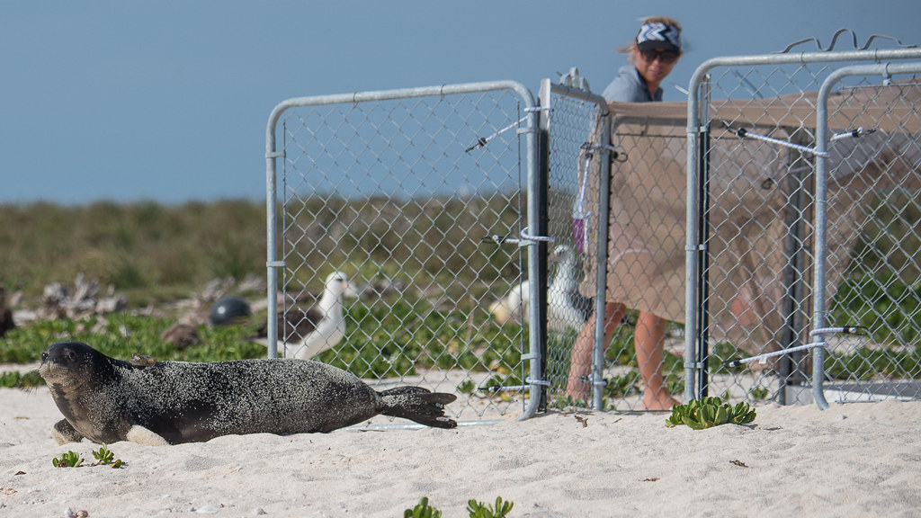 photo of monk seal release