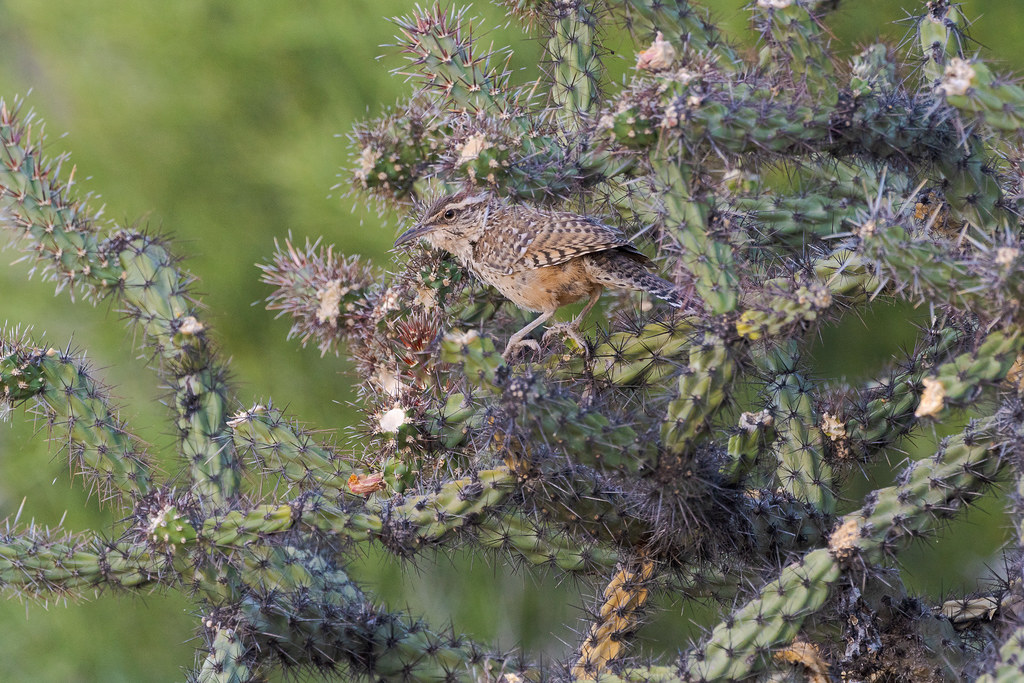 A cactus wren perches in a buckhorn cholla along Powerline Road No. 2 in McDowell Sonoran Preserve in Scottsdale, Arizona in May 2020