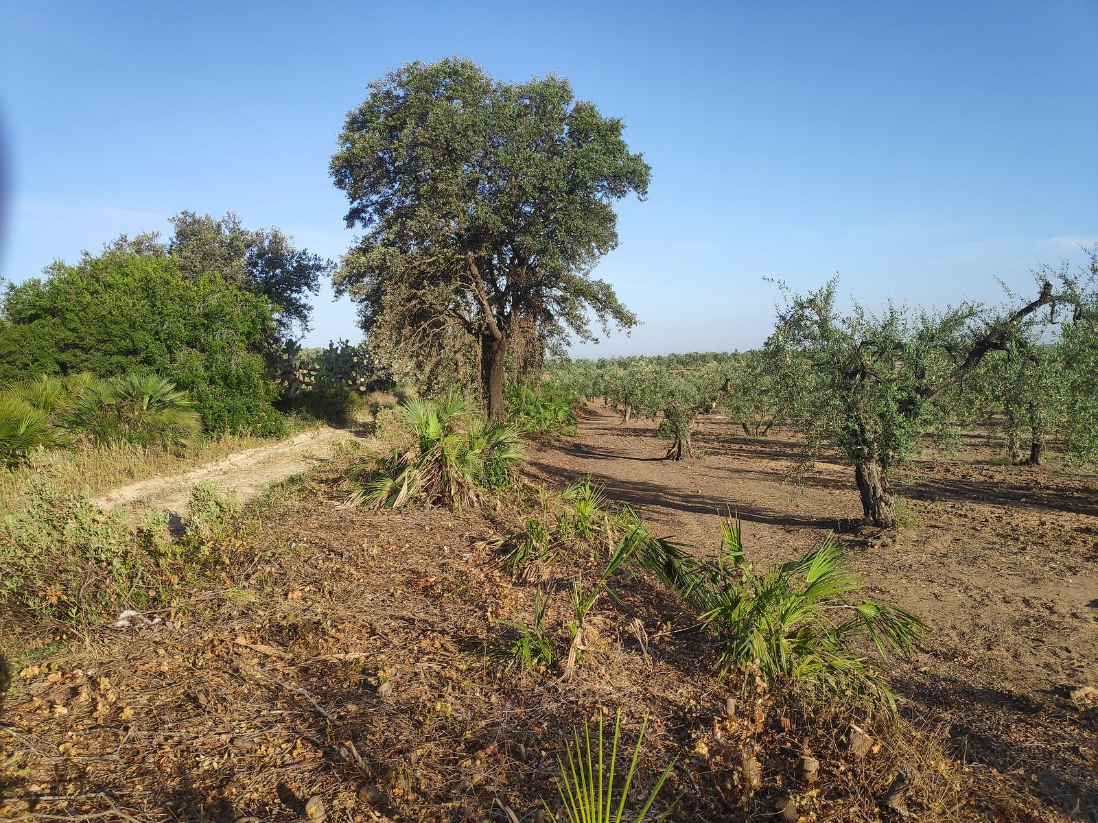 Jaedilla-Ecologistas en Acción denuncia la tala de 15 encinas en Arahal