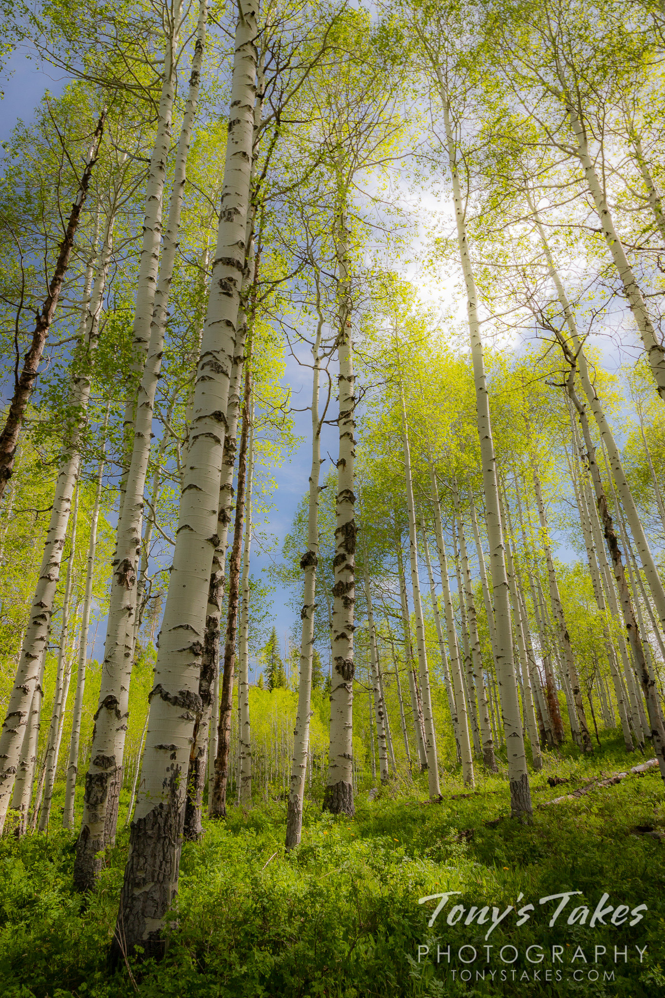 Grove of aspen trees glowing in the morning light