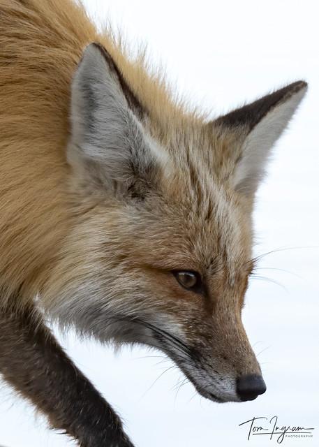 Red Fox portrait (Explored 6-14-20)