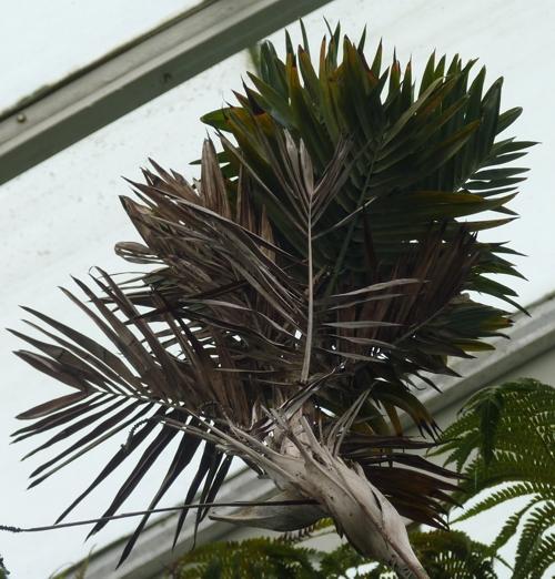 Chamaedorea oreophila 49999124667_e7c6dc346a_o