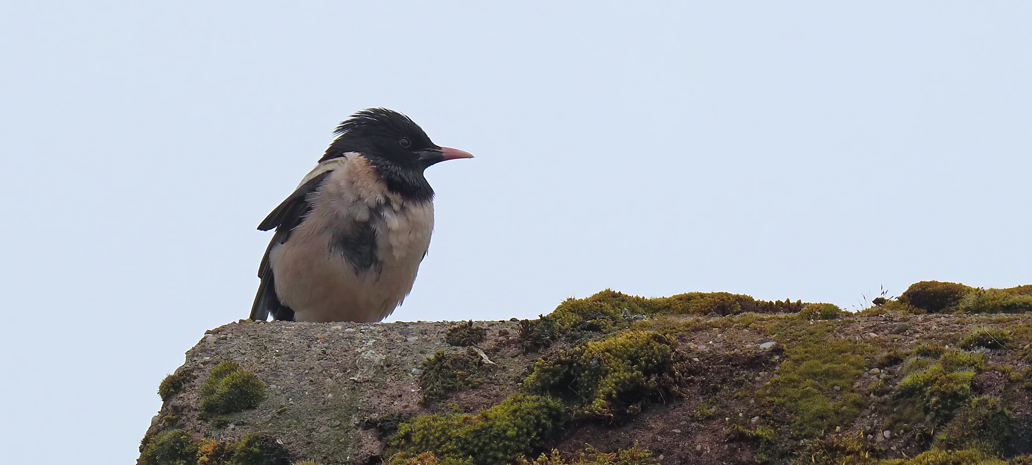 Rose Coloured Starling - best I could do today