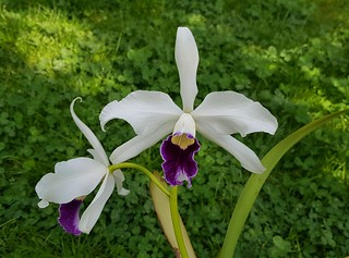 Cattleya purpurata var. schusteriana