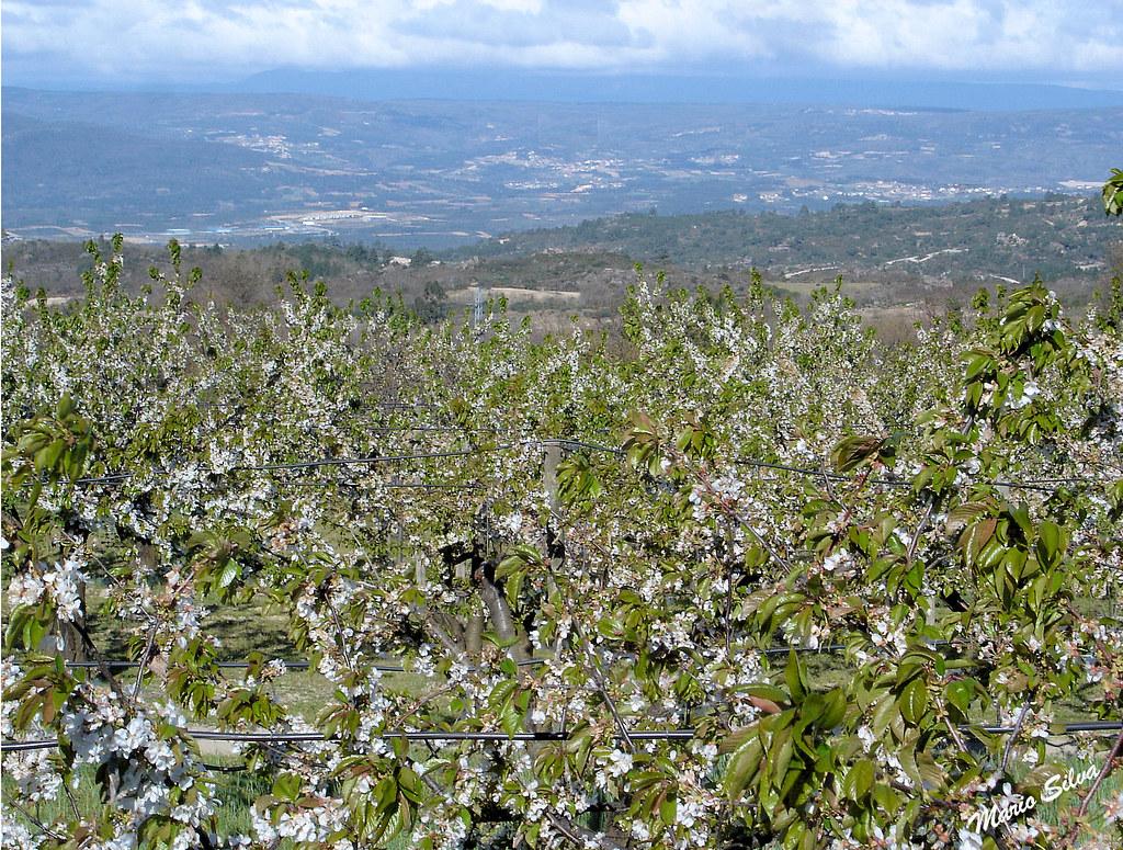 cerejeiras 4_InPixio_ms