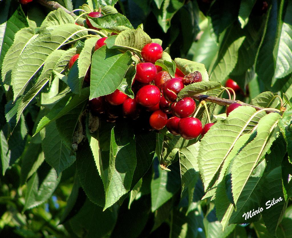 cerejeiras 11_InPixio_ms