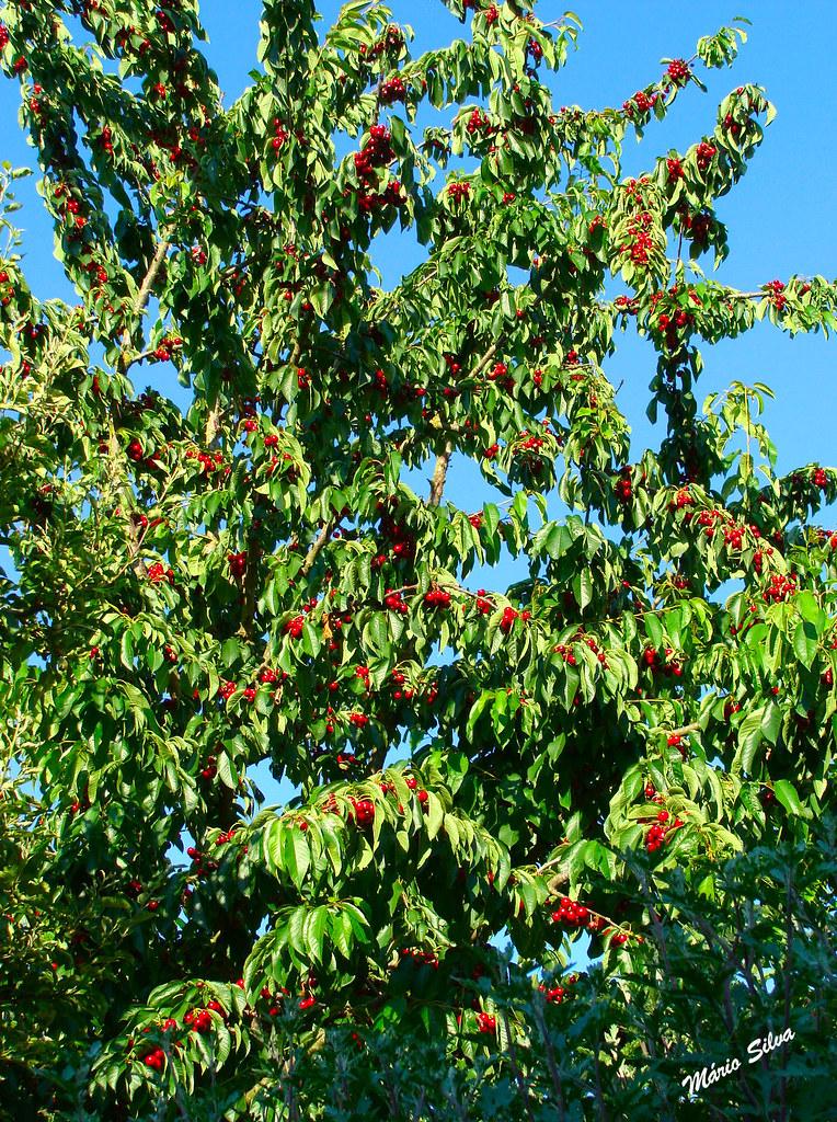 cerejeiras 12_InPixio_ms