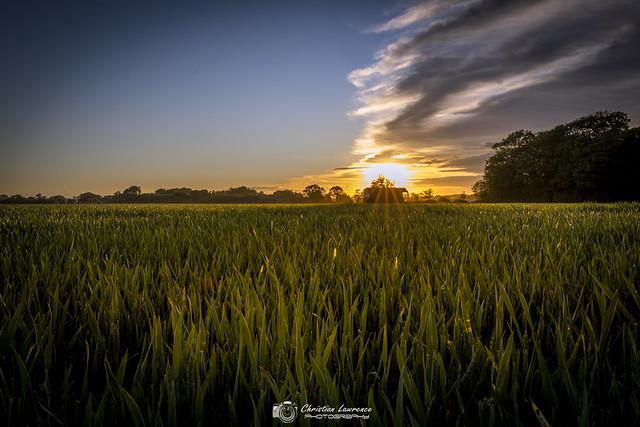 Sunburst Corn