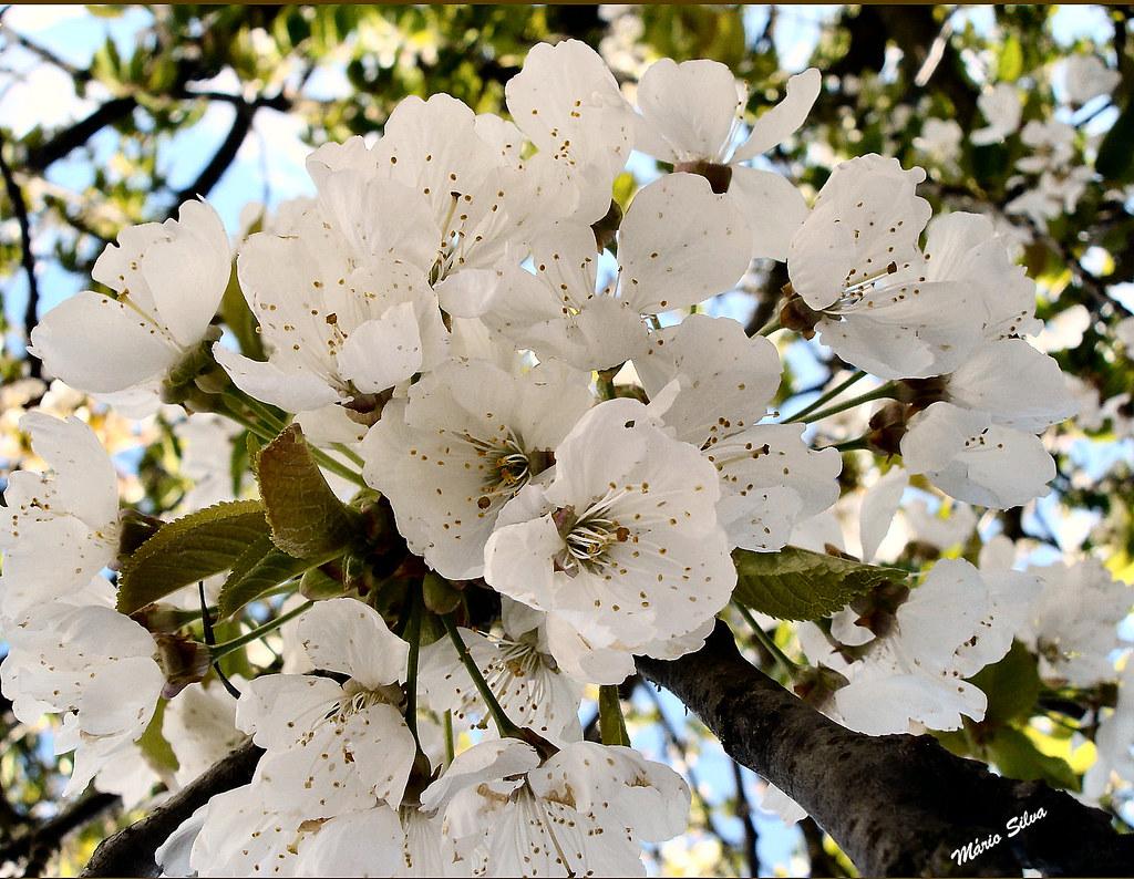 cerejeiras 1_InPixio_ms