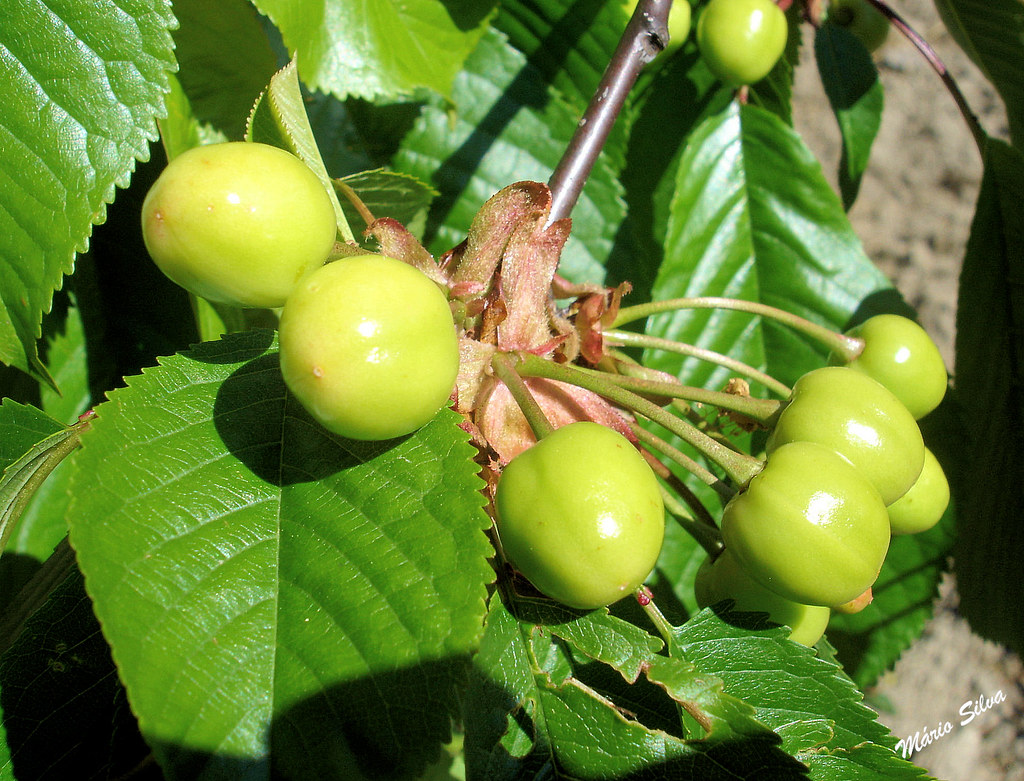 cerejeiras 7_InPixio_ms