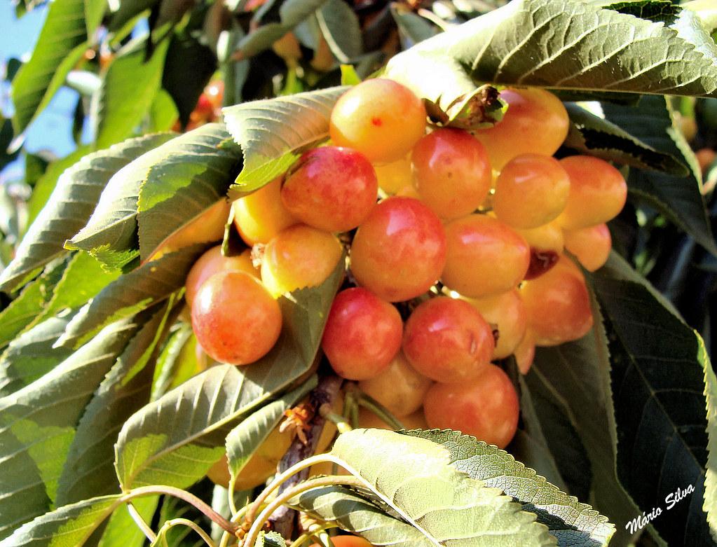 cerejeiras 10_InPixio_ms