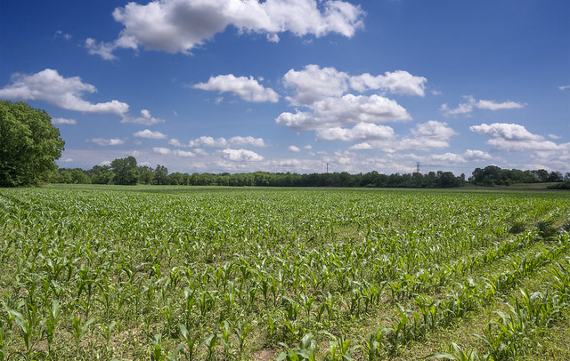 Corn Field, York T. Maple Rd.