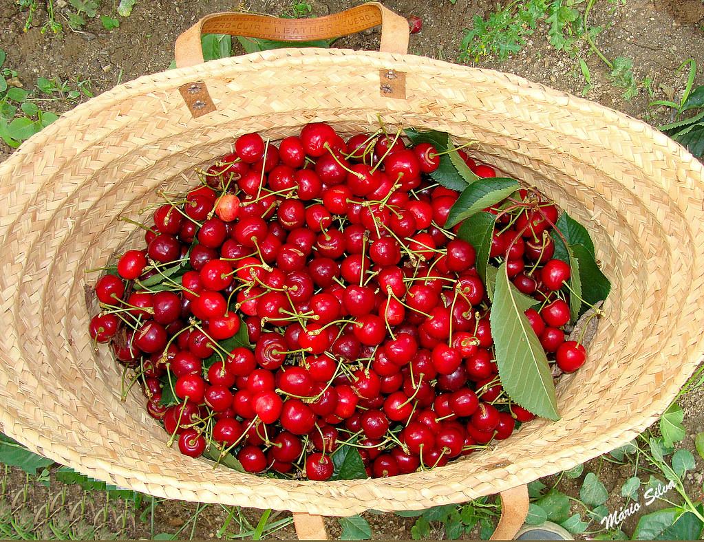 cerejeiras 13_InPixio_ms