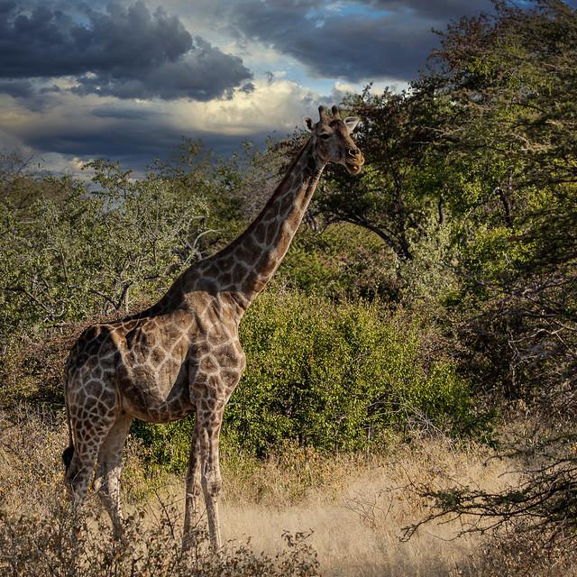 Giraffe - Namibia