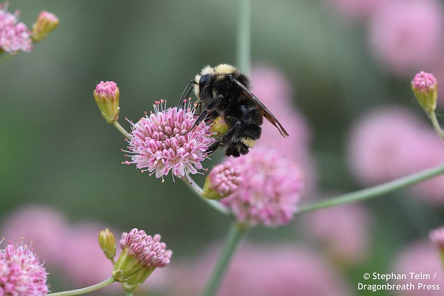 DSC_1200_Yellow-faced bumblebee
