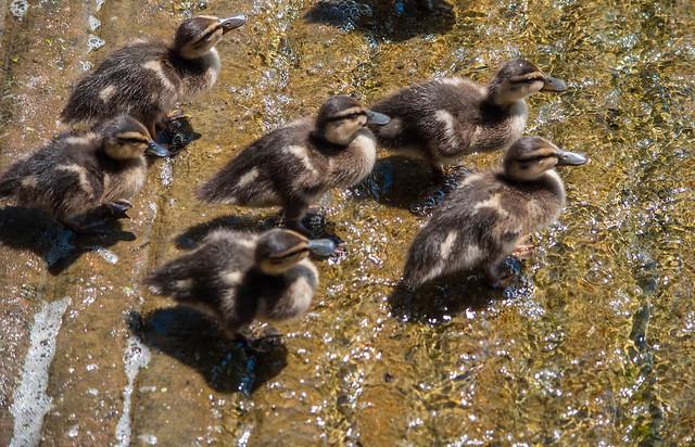 Ducklings at False River