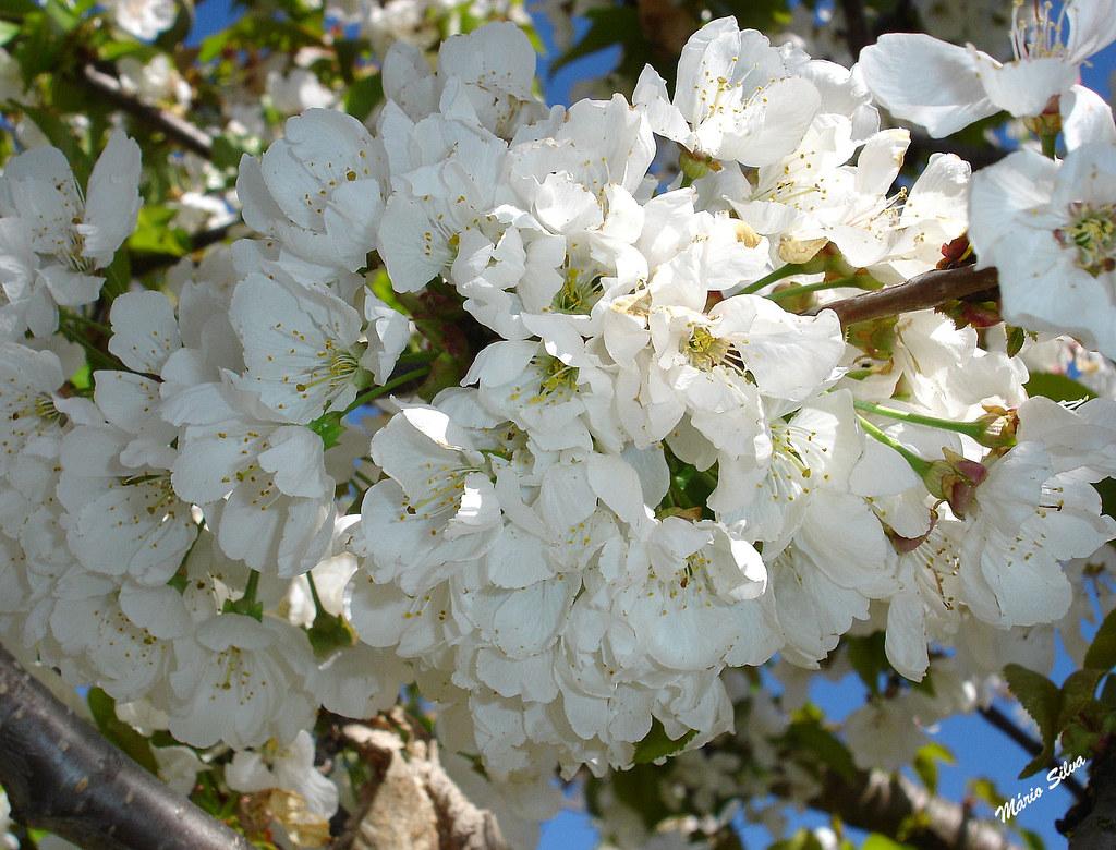 cerejeiras 2_InPixio_ms