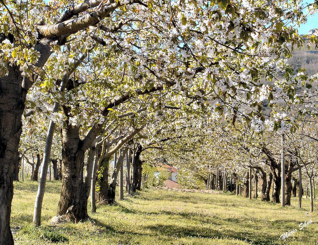 cerejeiras 5_InPixio_ms