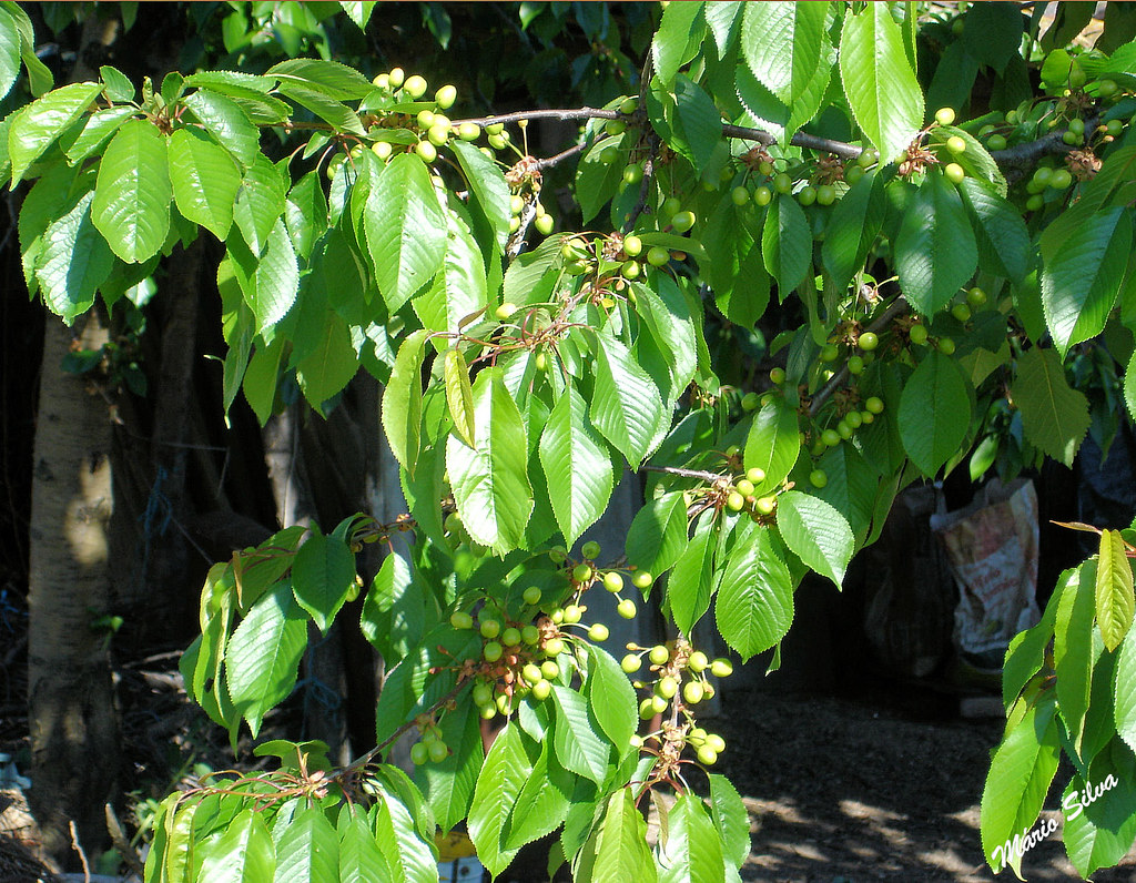 cerejeiras 8_InPixio_ms