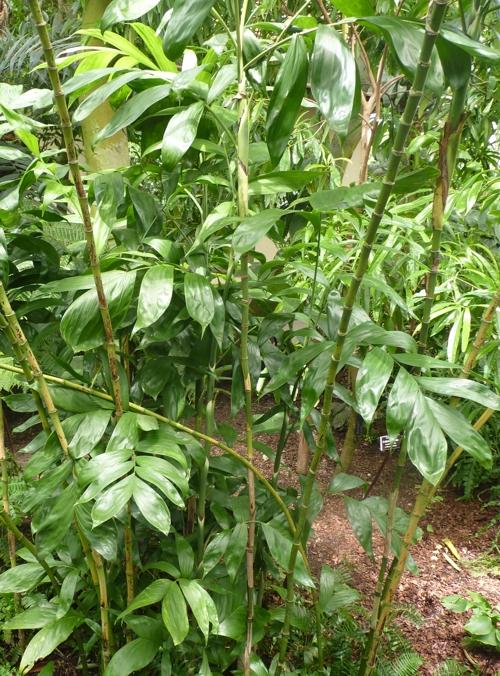 Chamaedorea pinnatifrons 50000114223_526b7e06de_o
