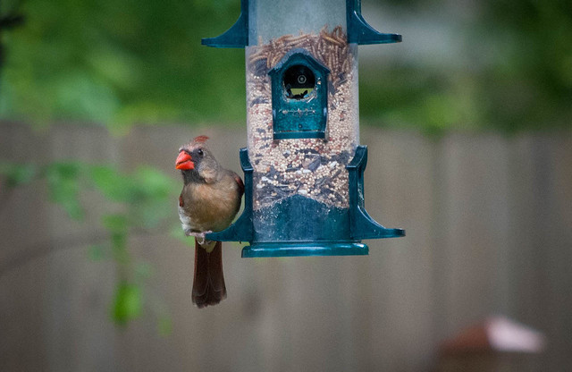 Lady Cardinal on the Feeder